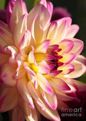 Pink Cream And Yellow Dahlia Art Print