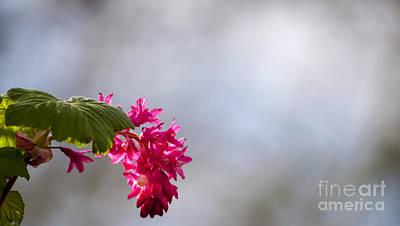 Pink Current Blossoms Art Print