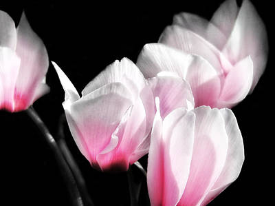 Book Quotes - Pink Cyclamen by Mary Lane