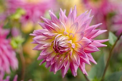 Dahlia Photograph - Pink Dahlia Flower by Carolyn Eaton