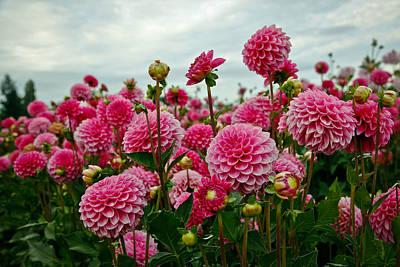 Lady Bug - Pink Dahlia Field by Athena Mckinzie