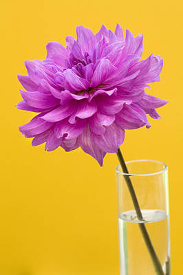 Pink Dahlia In A Vase Against Yellow Orange Background Art Print by Natalie Kinnear