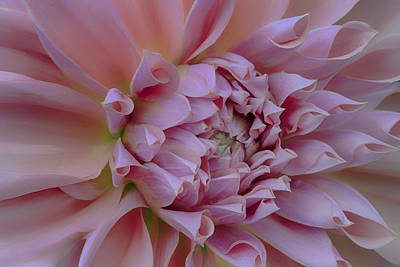 Art Print featuring the photograph Pink Dahlia by Jacqui Boonstra