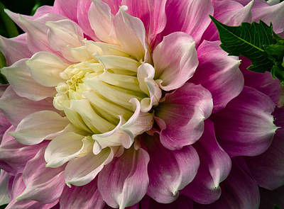 Photograph - Pink Dahlia by Jean Noren