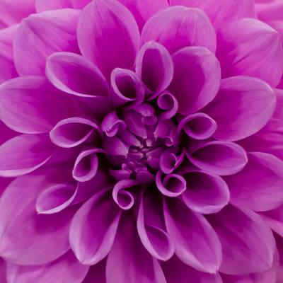 Photograph - Pink Dahlia by Joseph Bowman