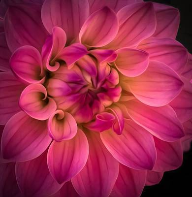 Photograph - Pink Dahlia by Linda Villers