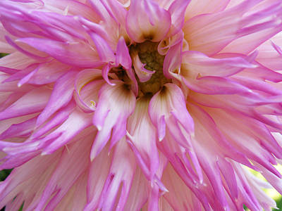 Photograph - Pink Dahlia by Lisa Foster