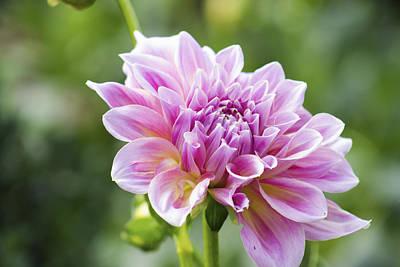 Pink Dahlia Original