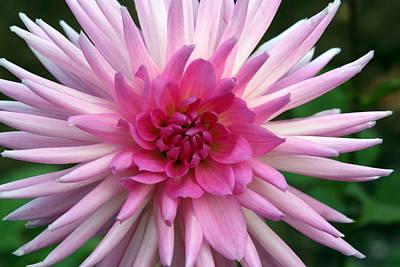Photograph - Pink Dahlia by Richard Engelbrecht