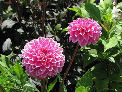 Photograph - Pink Dahlias by MTBobbins Photography