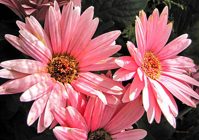 Photograph - Pink Daisies by Duane McCullough