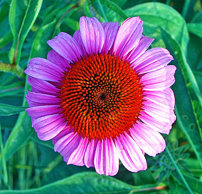 Pink Daisy By Jan Marvin Art Print