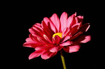 Pink Daisy Original