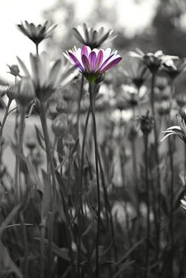 Photograph - Pink  Daisy Flower by Sumit Mehndiratta