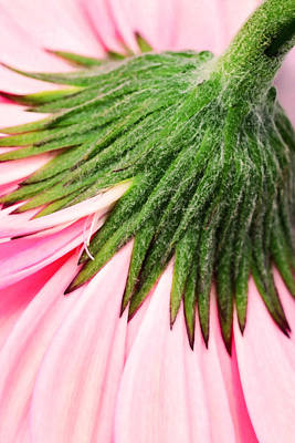 Pink Daisy In Closeup Original by Tommytechno Sweden