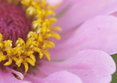 Photograph - Pink Daisy by Phyllis Peterson