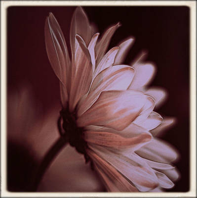 Photograph - Pink Daisy by Stephanie Hollingsworth