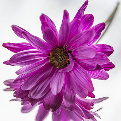 Photograph - Pink Daisy by Terry Rowe
