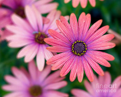 Pittsburgh According To Ron Magnes - Pink Daisy by Terry Weaver