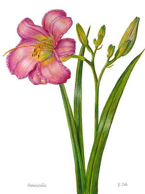 Pink Daylily - Hemerocallis Art Print