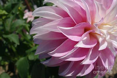 The Blue Dahlia Photograph - Pink Delight by Jacqueline Athmann