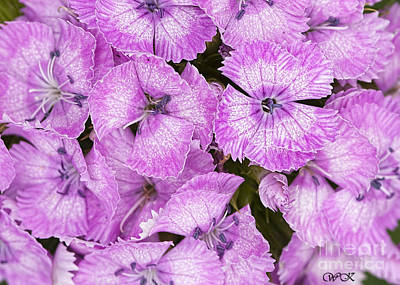 Photograph - Pink Dianthus by Wanda Krack
