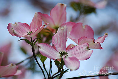 Photograph - Pink Dogwood 20120415_64a by Tina Hopkins