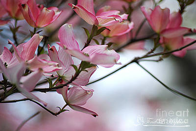 Photograph - Pink Dogwood 20120415_65a by Tina Hopkins