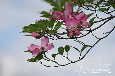 Photograph - Pink Dogwood 20120420_23a by Tina Hopkins