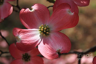 Easter Time Photograph - Pink Dogwood At Easter 4 by Reid Callaway