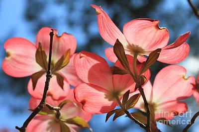 Photograph - Transparent Glory Pink Dogwood Easter Flower Art by Reid Callaway