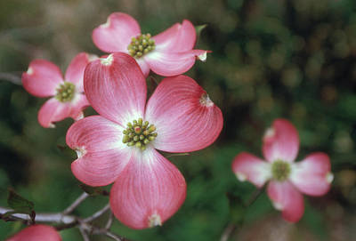 Dogwood Photograph - Pink Dogwood Blooms by Anna Miller