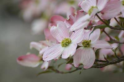 Pink Dogwood Blooms Art Print by Don Condley