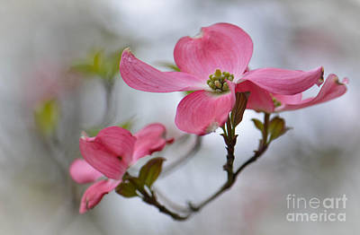 Photograph - Pink Dogwood Blossom by Amy Porter