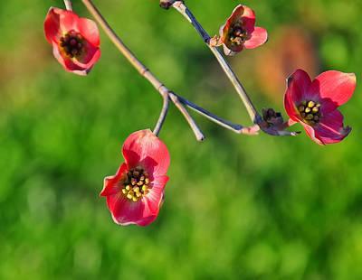 Dogwood Blossom Digital Art - Pink Dogwood Blossoms by Chris Flees