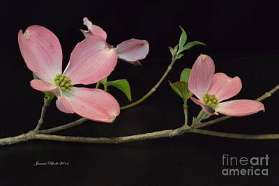 Art Print featuring the photograph Pink Dogwood Branch  by Jeannie Rhode