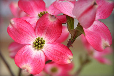Photograph - Pink Dogwood by CarolLMiller Photography