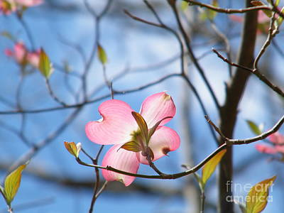 Wisteria In Bloom Photograph - Pink Dogwood by Cheryl Hardt Art