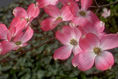 Photograph - Pink Dogwood Delight by Carolyn Jacob