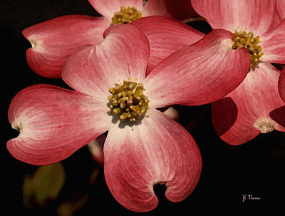 Photograph - Pink Dogwood by James C Thomas