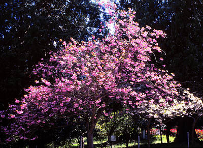 Photograph - Pink Dogwood by Robert  Rodvik