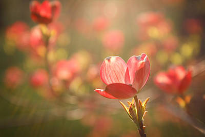 Photograph - Pink Dogwood by Scott Rackers