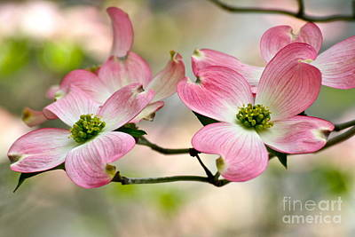 Pink Dogwood Splendor Art Print