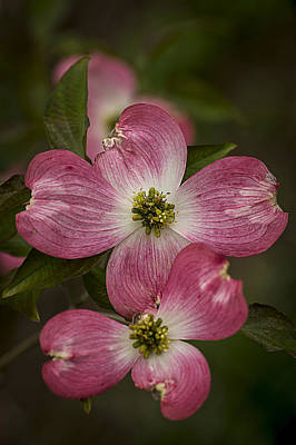 Photograph - Pink Dogwood by Wayne Meyer