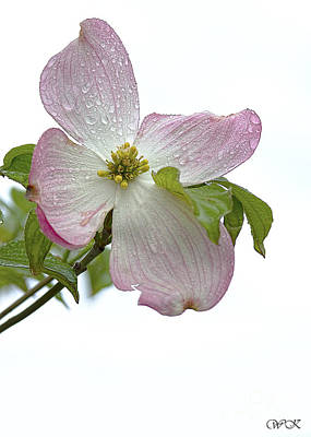 Photograph - Pink Dogwood With Raindrops by Wanda Krack
