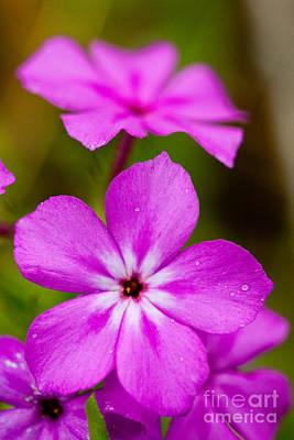 Pink Drummond Phlox Wildflowers With Raindrops Art Print by Matt Suess