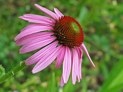 Photograph - Pink Echinacea by MTBobbins Photography