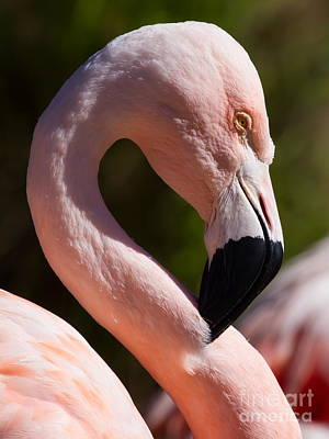 Photograph - Pink Flamingo 7d9003 by Wingsdomain Art and Photography