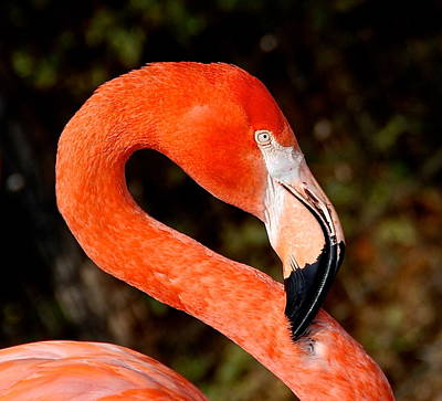 Photograph - Not So Pink Flamingo by Dee Dee  Whittle