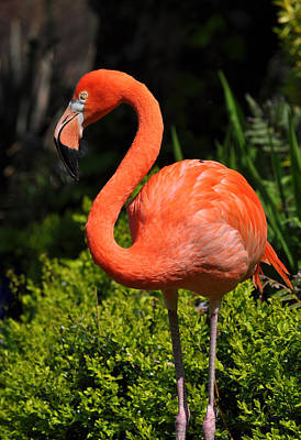 Photograph - Pink Flamingo by Ian Cocklin
